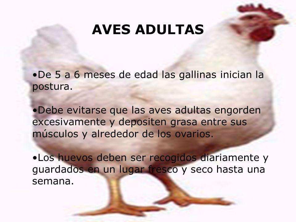 AVES ADULTAS De 5 a 6 meses de edad las gallinas inician la postura. Debe evitarse que las aves adultas engorden excesivamente y depositen grasa entre