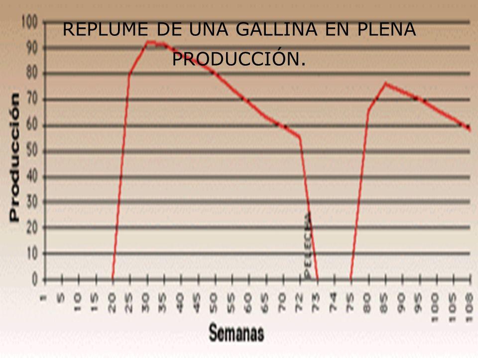 REPLUME DE UNA GALLINA EN PLENA PRODUCCIÓN.