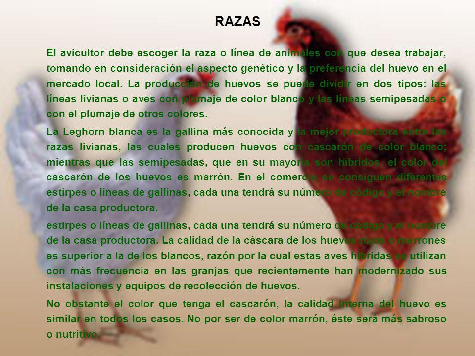 RAZAS El avicultor debe escoger la raza o línea de animales con que desea trabajar, tomando en consideración el aspecto genético y la preferencia del