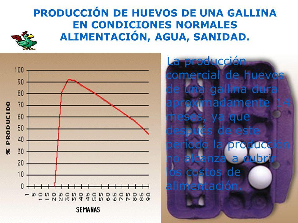 La producción comercial de huevos de una gallina dura aproximadamente 14 meses, ya que después de este período la producción no alcanza a cubrir los c