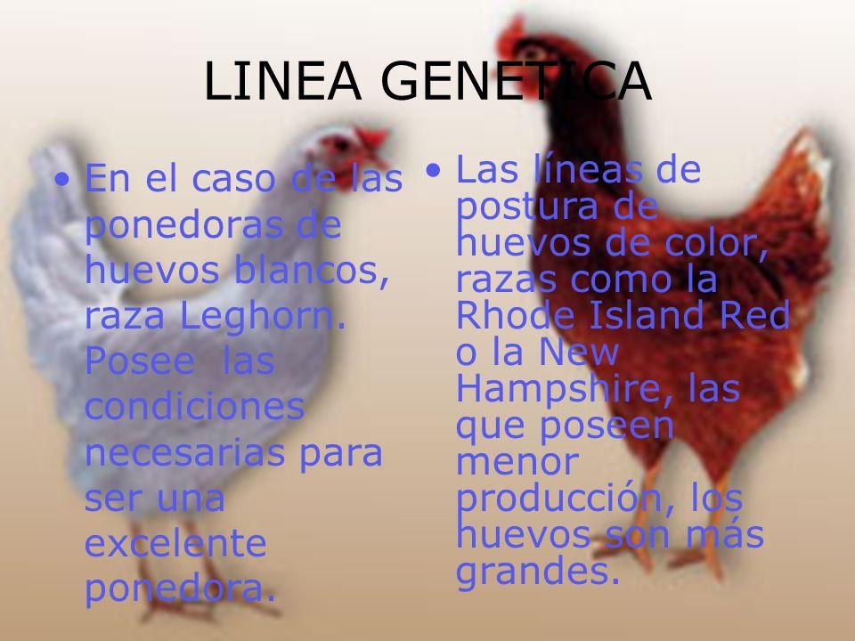 LINEA GENETICA En el caso de las ponedoras de huevos blancos, raza Leghorn. Posee las condiciones necesarias para ser una excelente ponedora. Las líne