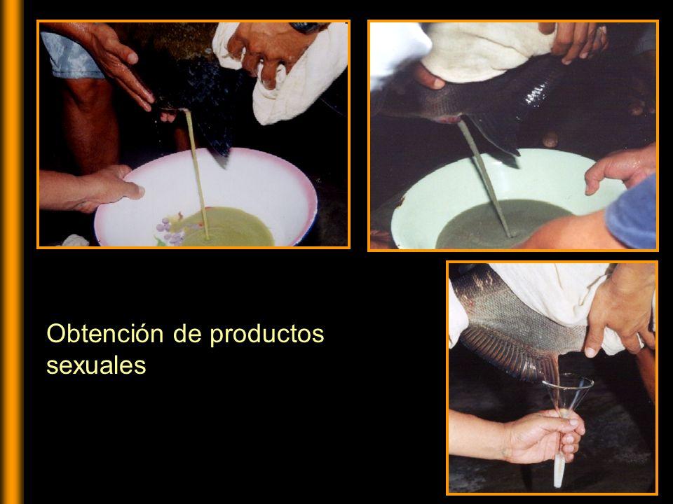 Hidratación de huevos de paco Fecundación de óvulos de gamitana
