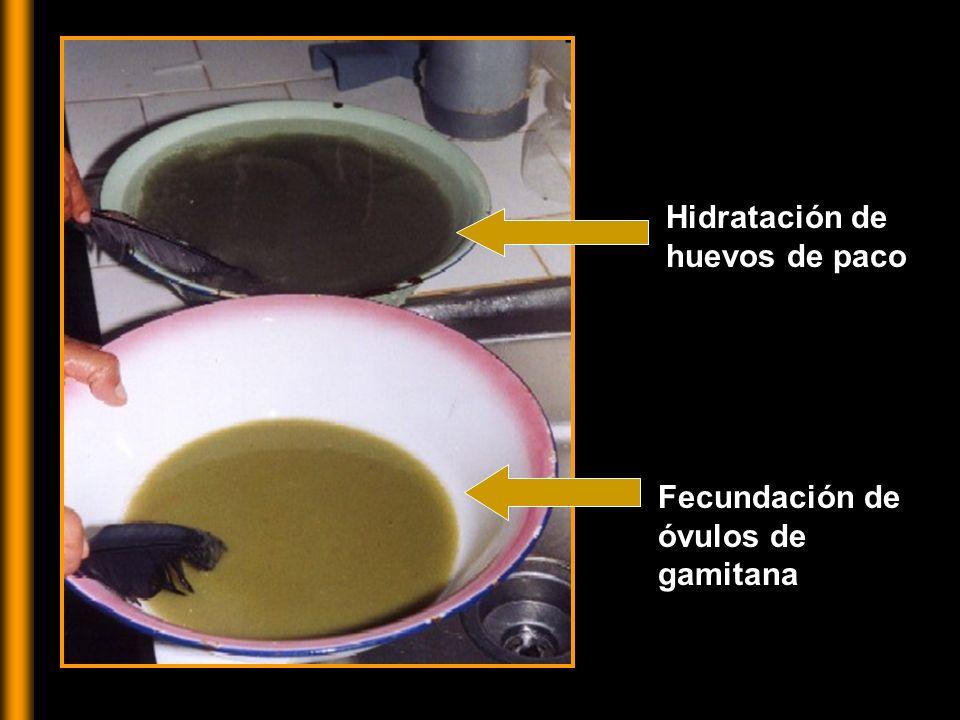 INCUBADORA Incubadora: recipiente que permita retener las larvas, eliminando el CO 2 y el amonio, con flujo constante (hacia arriba)