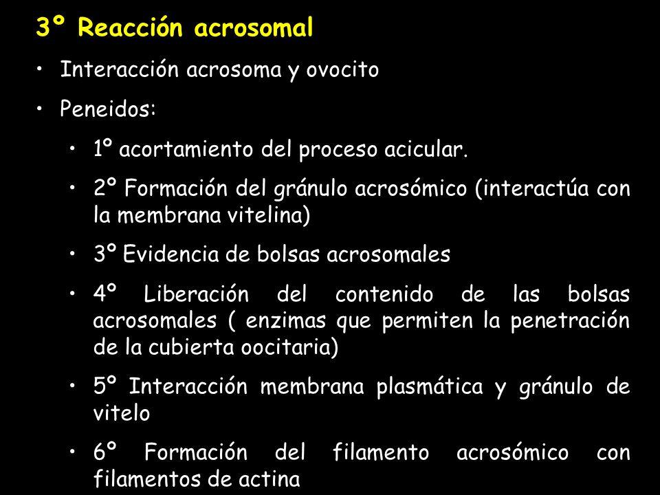 3º Reacción acrosomal Interacción acrosoma y ovocito Peneidos: 1º acortamiento del proceso acicular.