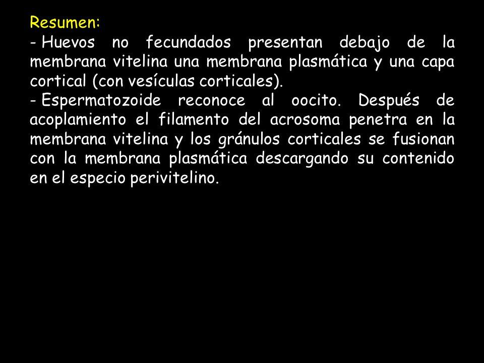 Resumen: - Huevos no fecundados presentan debajo de la membrana vitelina una membrana plasmática y una capa cortical (con vesículas corticales).