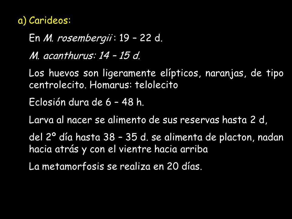 b) Peneidos: Después de 12 – 20 h del desove nace un nauplio.