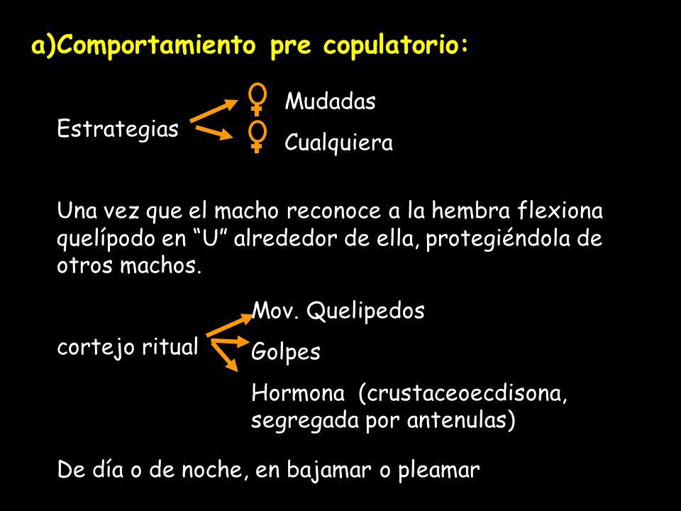a)Comportamiento pre copulatorio: Estrategias Una vez que el macho reconoce a la hembra flexiona quelípodo en U alrededor de ella, protegiéndola de otros machos.