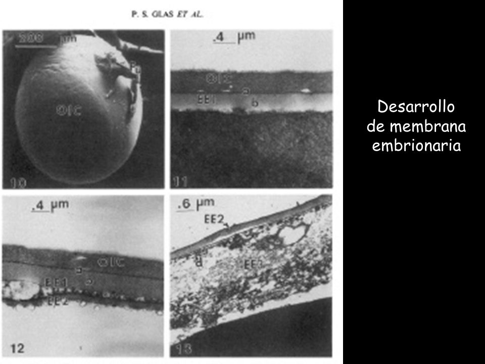 Desarrollo de membrana embrionaria