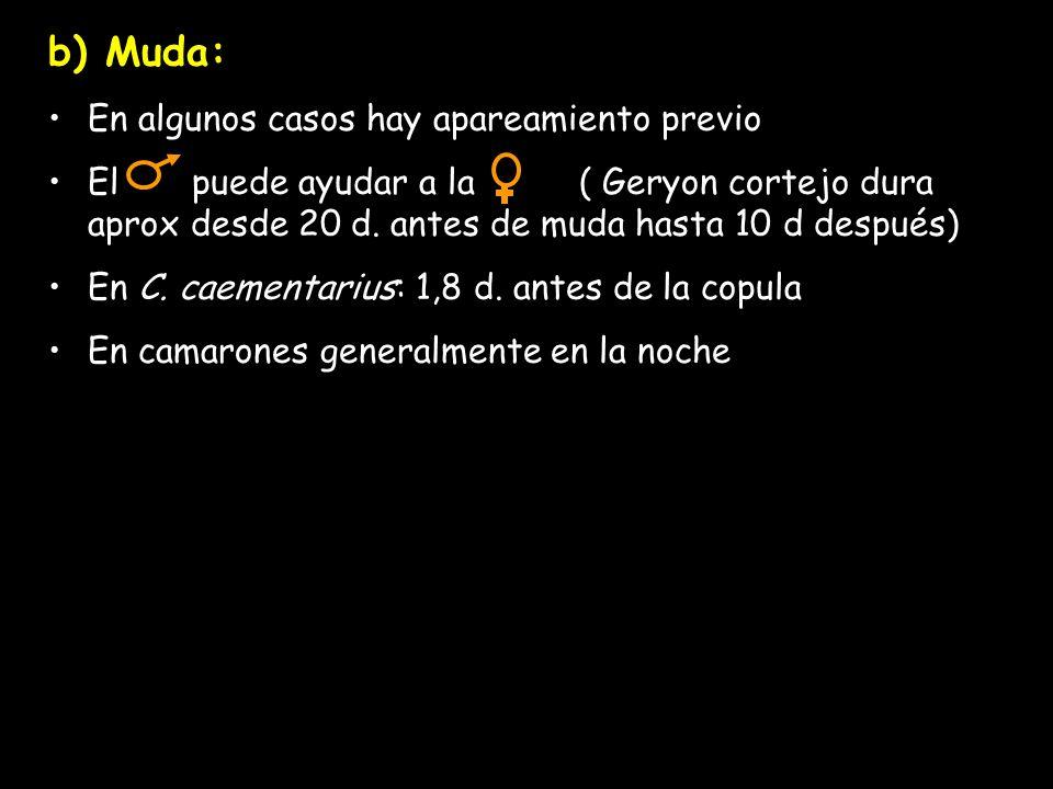 b) Muda: En algunos casos hay apareamiento previo El puede ayudar a la ( Geryon cortejo dura aprox desde 20 d.