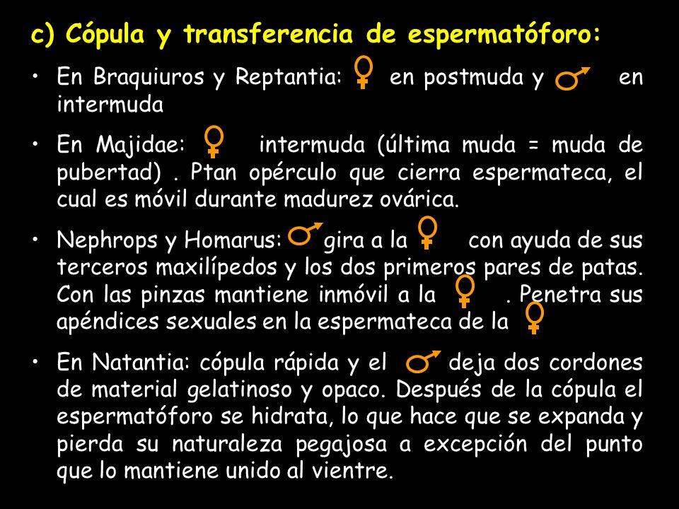 c) Cópula y transferencia de espermatóforo: En Braquiuros y Reptantia: en postmuda y en intermuda En Majidae: intermuda (última muda = muda de pubertad).