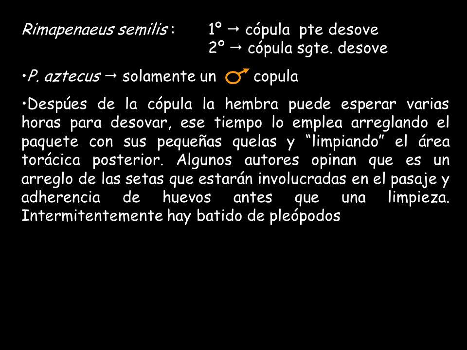 Rimapenaeus semilis : 1º cópula pte desove 2º cópula sgte.