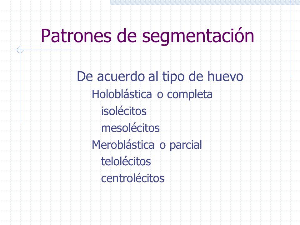 Patrones de segmentación De acuerdo al tipo de huevo Holoblástica o completa isolécitos mesolécitos Meroblástica o parcial telolécitos centrolécitos