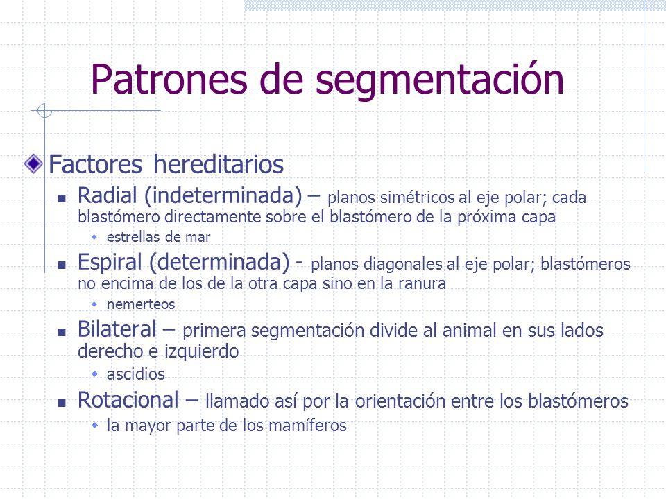 Patrones de segmentación Factores hereditarios Radial (indeterminada) – planos simétricos al eje polar; cada blastómero directamente sobre el blastóme