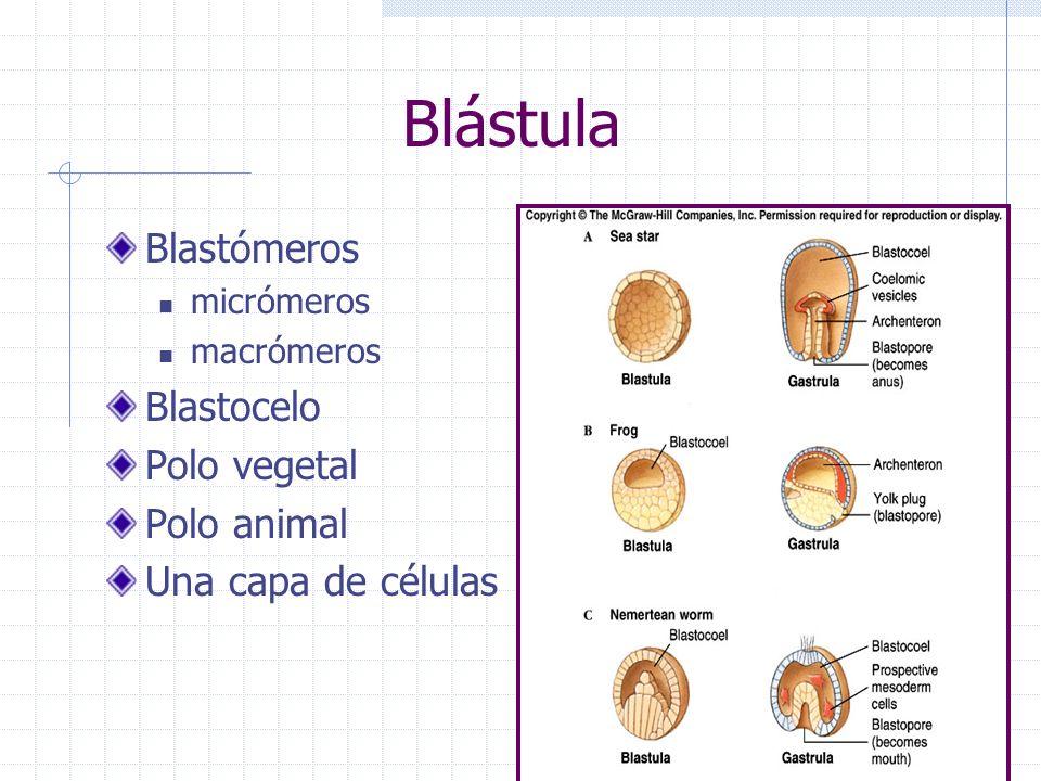 Blástula Blastómeros micrómeros macrómeros Blastocelo Polo vegetal Polo animal Una capa de células