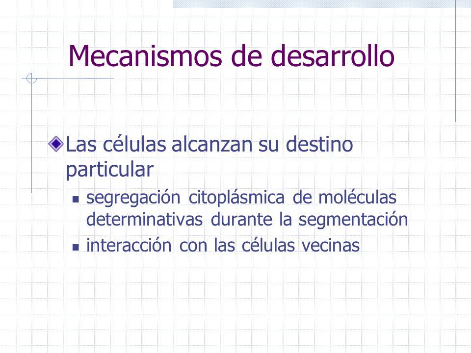 Mecanismos de desarrollo Las células alcanzan su destino particular segregación citoplásmica de moléculas determinativas durante la segmentación inter