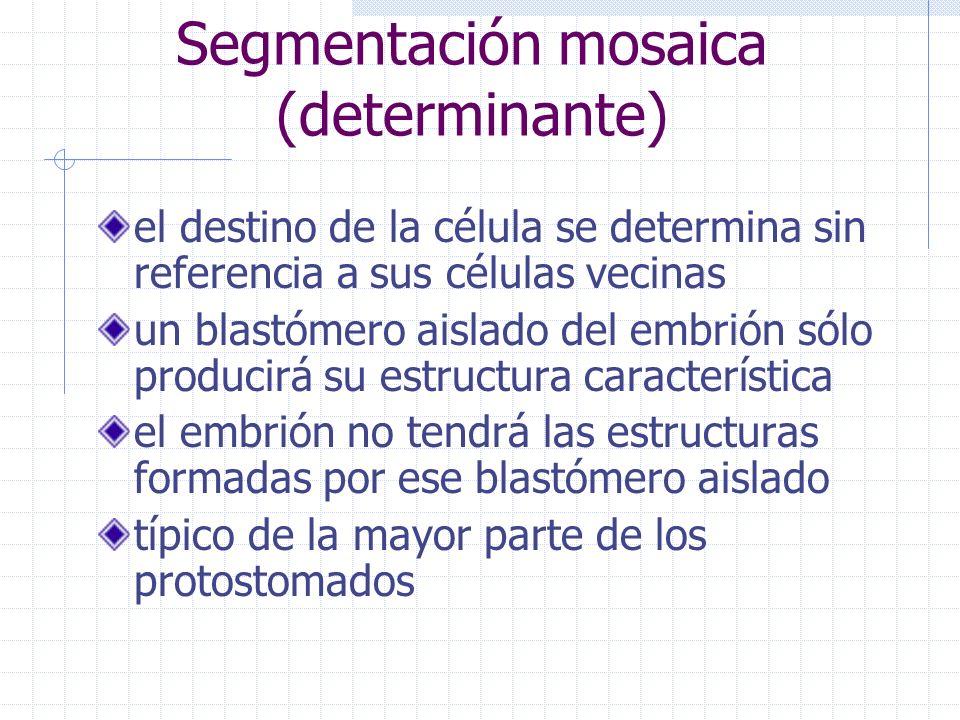 Segmentación mosaica (determinante) el destino de la célula se determina sin referencia a sus células vecinas un blastómero aislado del embrión sólo p