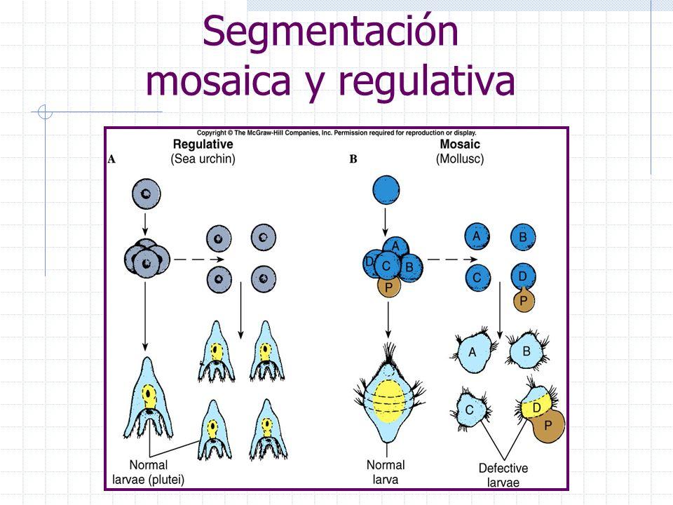 Segmentación mosaica y regulativa