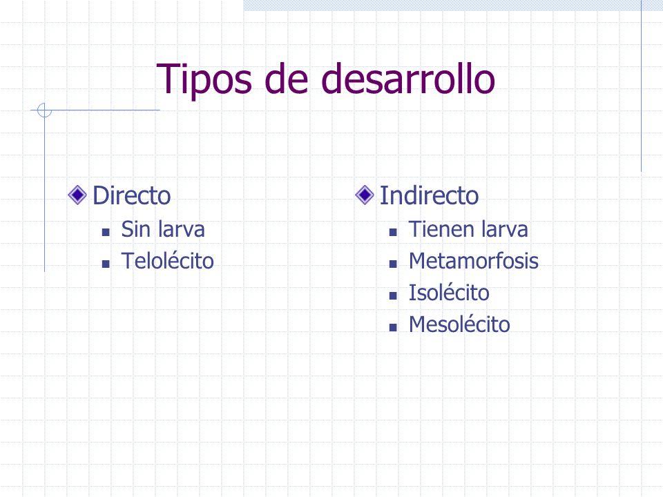 Tipos de desarrollo Directo Sin larva Telolécito Indirecto Tienen larva Metamorfosis Isolécito Mesolécito