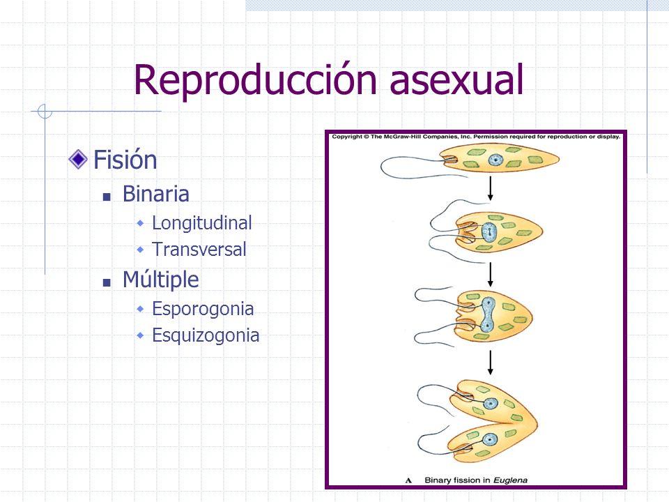 Reproducción asexual Fisión Binaria Longitudinal Transversal Múltiple Esporogonia Esquizogonia