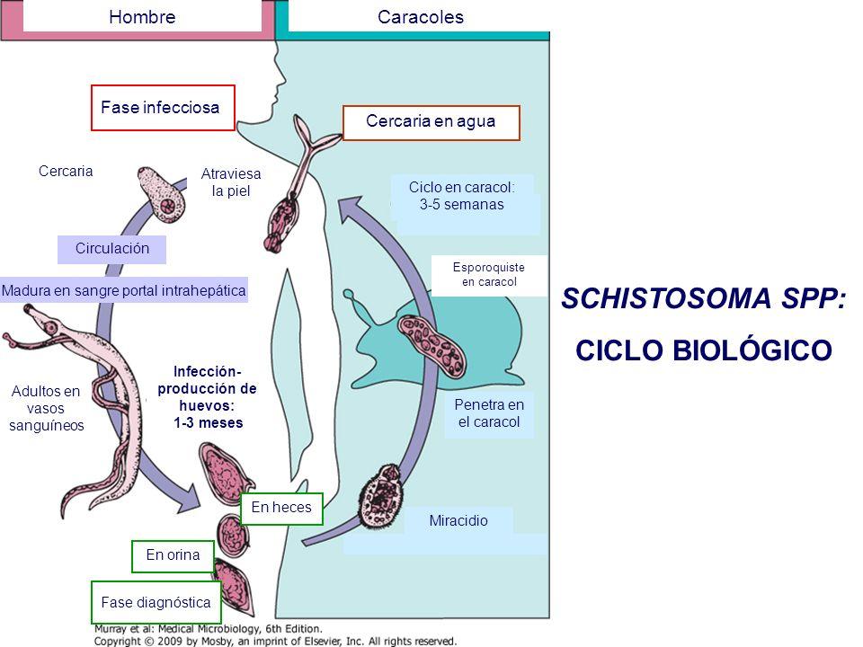 ESQUISTOSOMIASIS Infecciones asintomáticas.Cuadros clínicos (factores): Fase de la enfermedad.