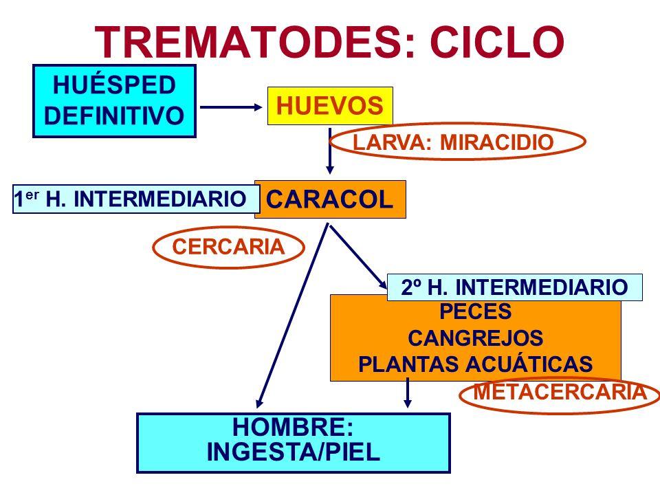LOCALIZACIÓN HOMBRE ESPECIE HUESPED INTERMEDIARIO PRIMARIO SECUNDARIO HABITAT SANGRE SCHISTOSOMA HAEMATOBIUM CARACOL----- PLEXOS VESICALES S.