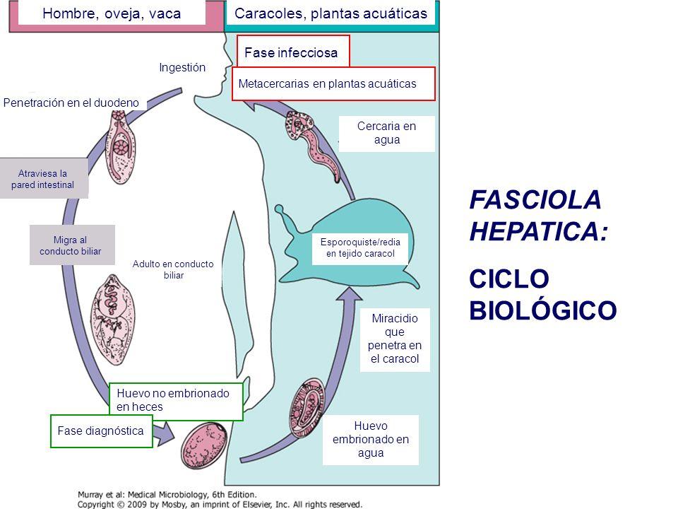 FASCIOLA HEPATICA: PATOGENIA Migración: Pared intestinal a parénquima hepático: escaso daño.