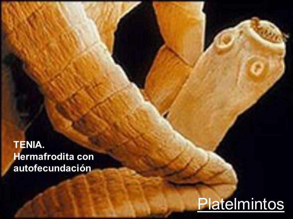 TENIA. Hermafrodita con autofecundación Platelmintos