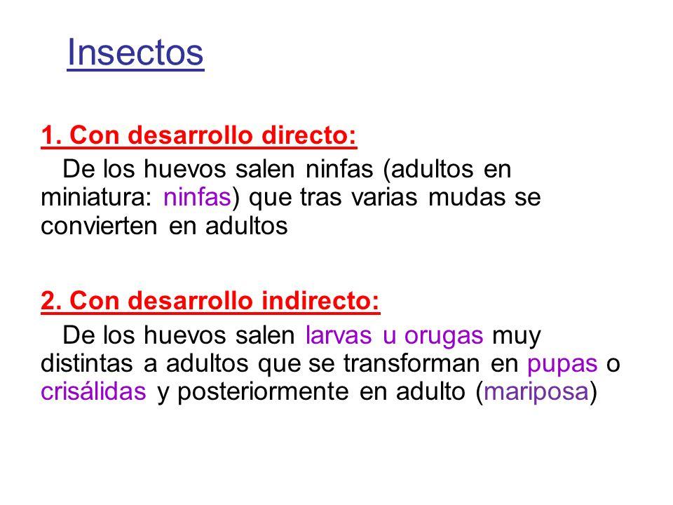 Insectos 1. Con desarrollo directo: De los huevos salen ninfas (adultos en miniatura: ninfas) que tras varias mudas se convierten en adultos 2. Con de