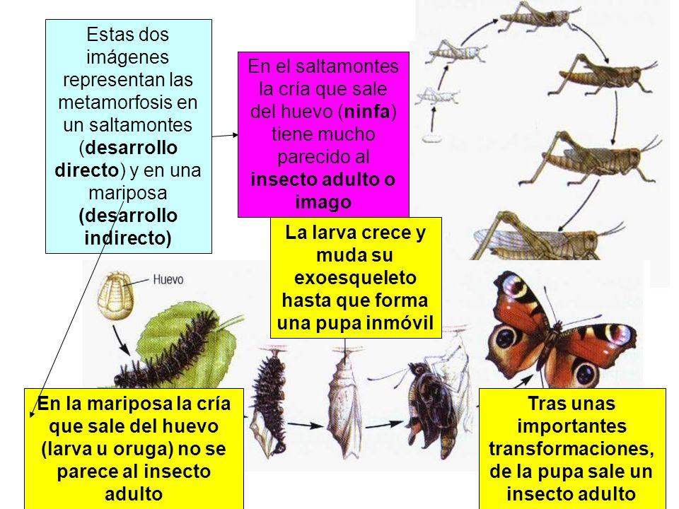 Estas dos imágenes representan las metamorfosis en un saltamontes (desarrollo directo) y en una mariposa (desarrollo indirecto) En la mariposa la cría