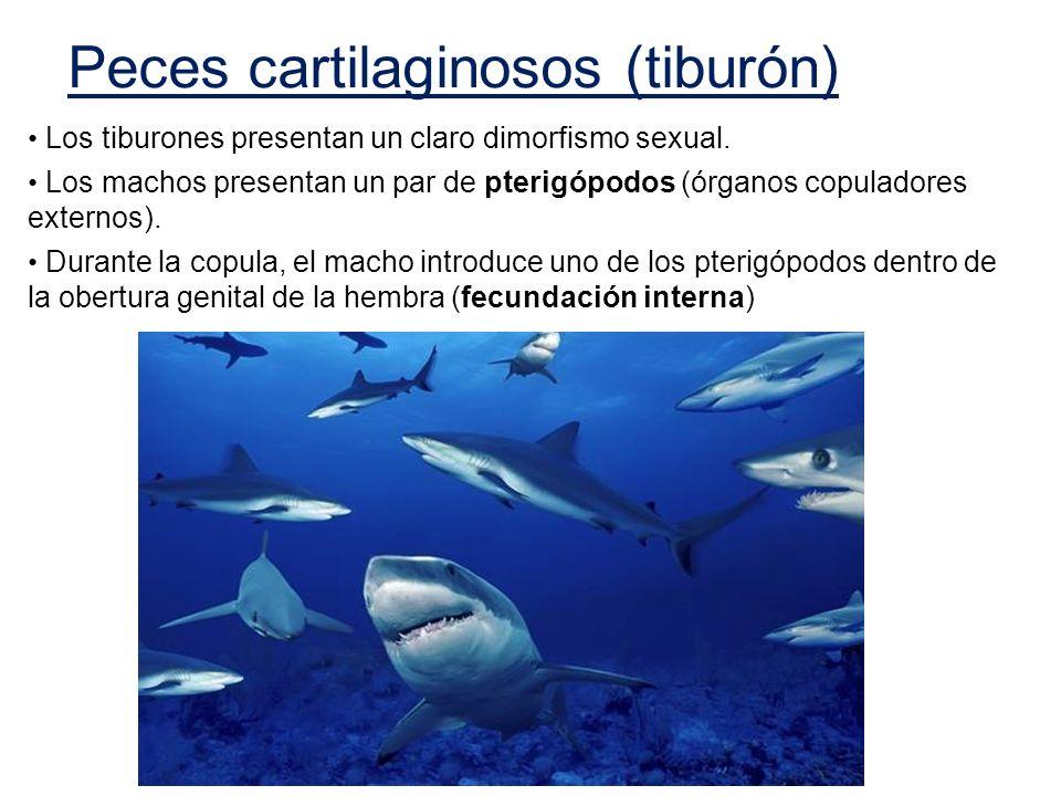 Los tiburones presentan un claro dimorfismo sexual. Los machos presentan un par de pterigópodos (órganos copuladores externos). Durante la copula, el