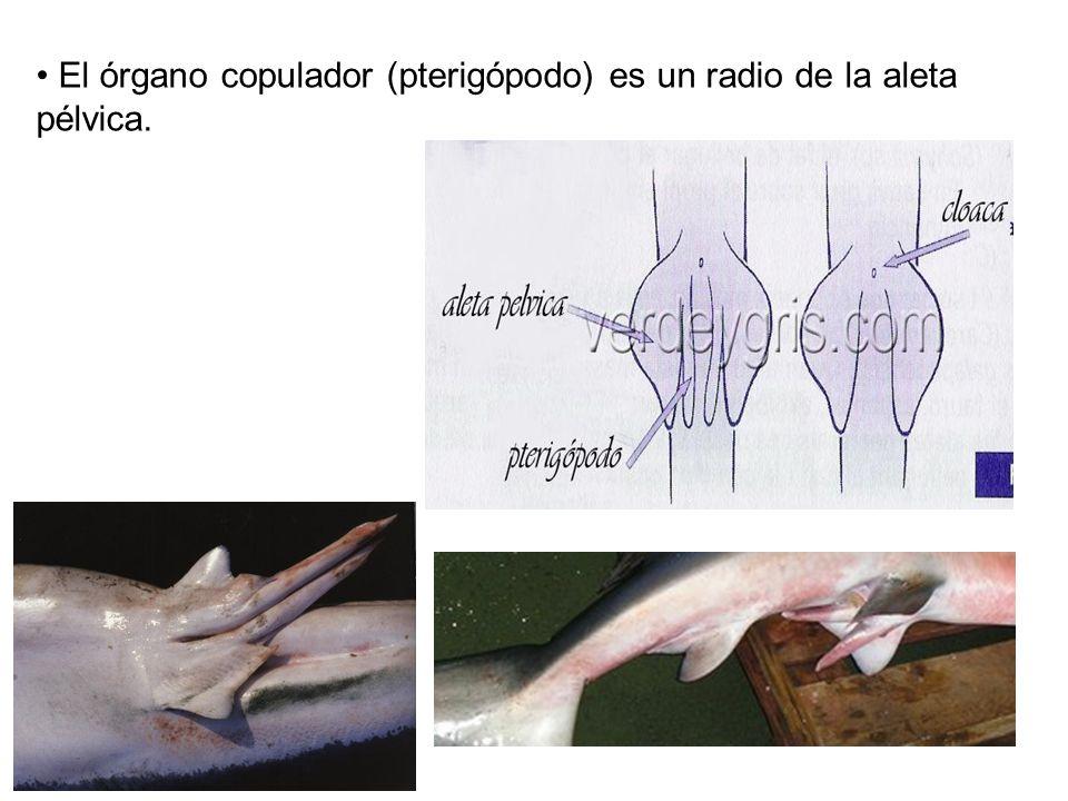 El órgano copulador (pterigópodo) es un radio de la aleta pélvica.