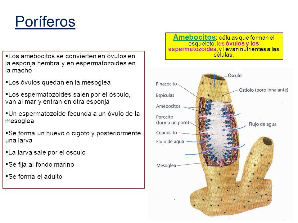 Amebocitos : células que forman el esqueleto, los óvulos y los espermatozoides, y llevan nutrientes a las células. Los amebocitos se convierten en óvu