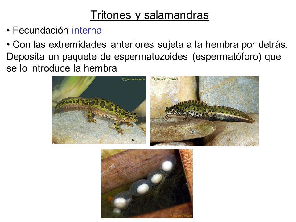 Tritones y salamandras Fecundación interna Con las extremidades anteriores sujeta a la hembra por detrás. Deposita un paquete de espermatozoides (espe