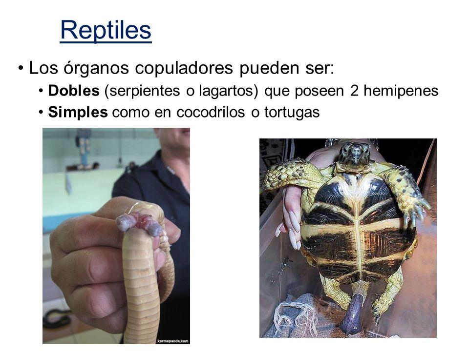 Los órganos copuladores pueden ser: Dobles (serpientes o lagartos) que poseen 2 hemipenes Simples como en cocodrilos o tortugas Reptiles
