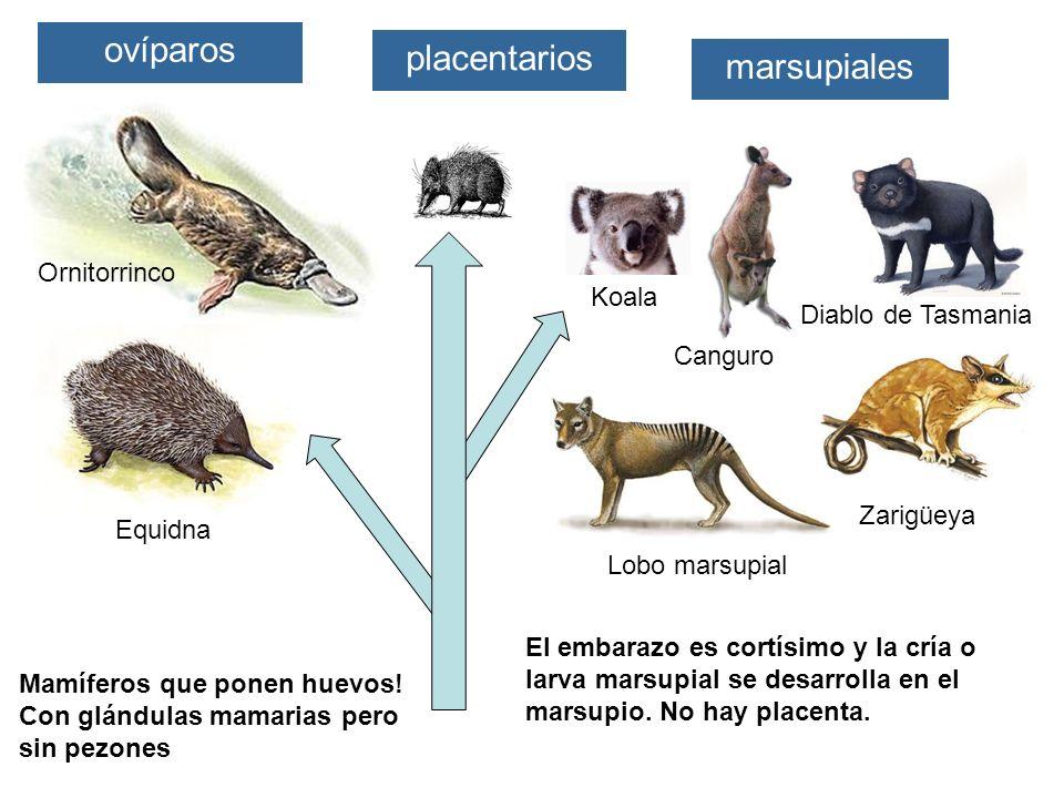 ovíparos marsupiales placentarios Equidna Ornitorrinco Lobo marsupial Zarigüeya Diablo de Tasmania Canguro Mamíferos que ponen huevos! Con glándulas m
