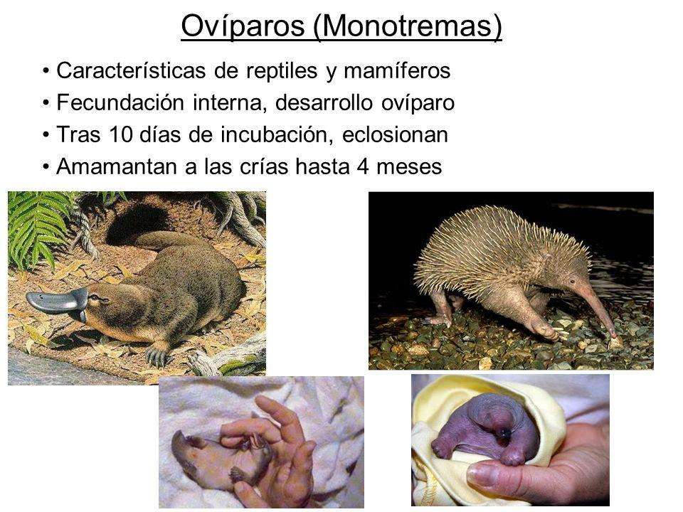 Ovíparos (Monotremas) Características de reptiles y mamíferos Fecundación interna, desarrollo ovíparo Tras 10 días de incubación, eclosionan Amamantan