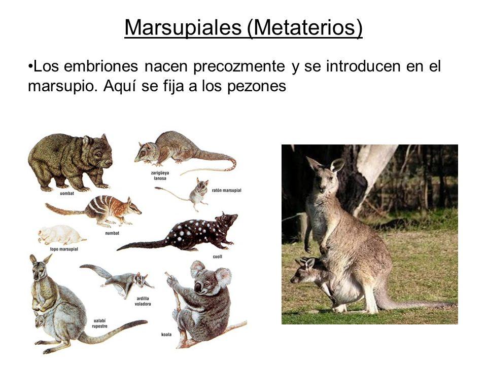 Los embriones nacen precozmente y se introducen en el marsupio. Aquí se fija a los pezones Marsupiales (Metaterios)