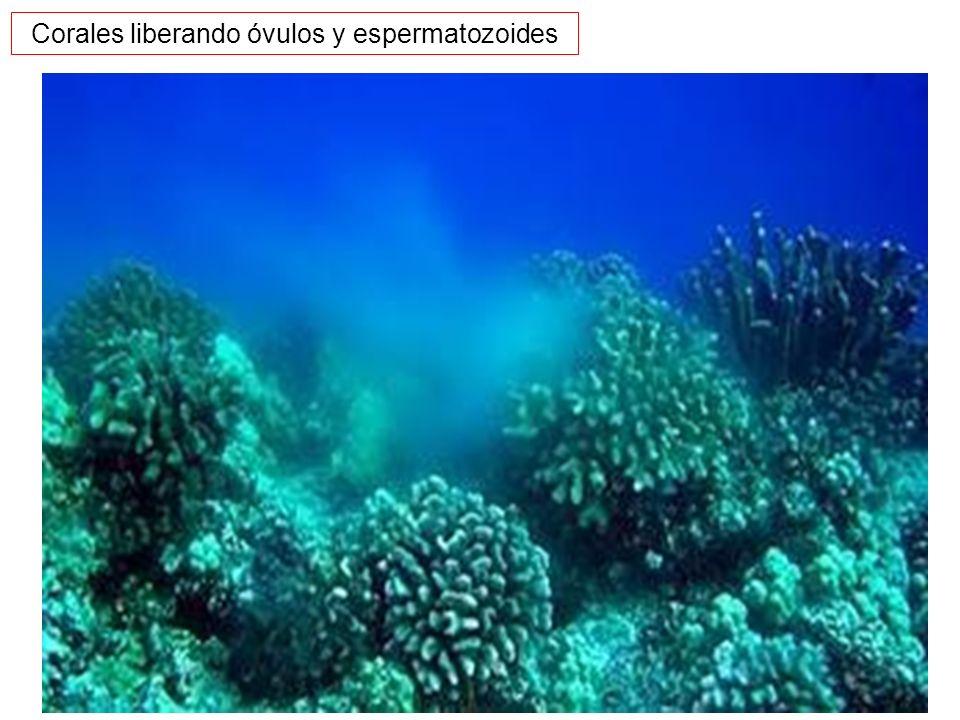 Corales liberando óvulos y espermatozoides