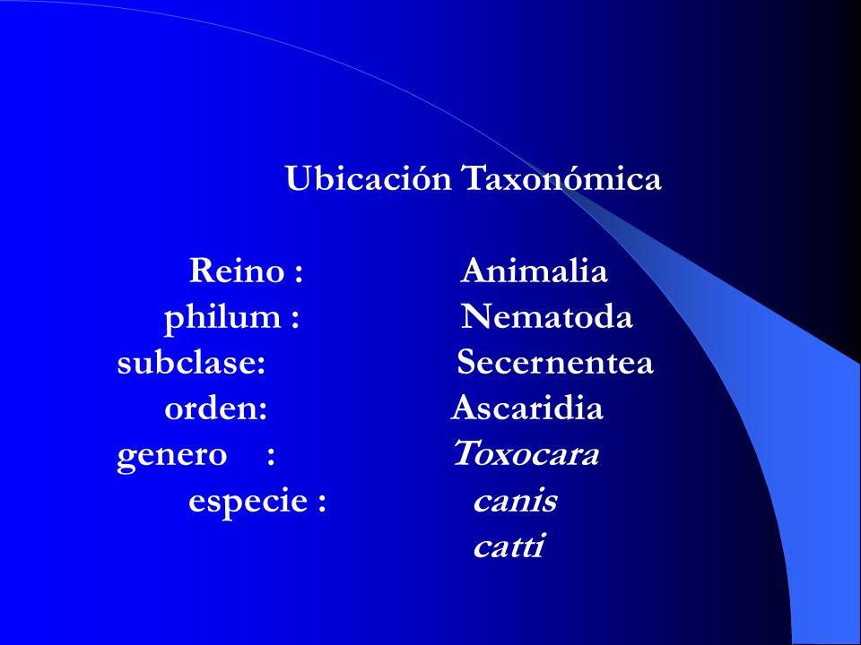 Ubicación Taxonómica Reino : Animalia philum : Nematoda subclase: Secernentea orden: Ascaridia genero : Toxocara especie : canis catti