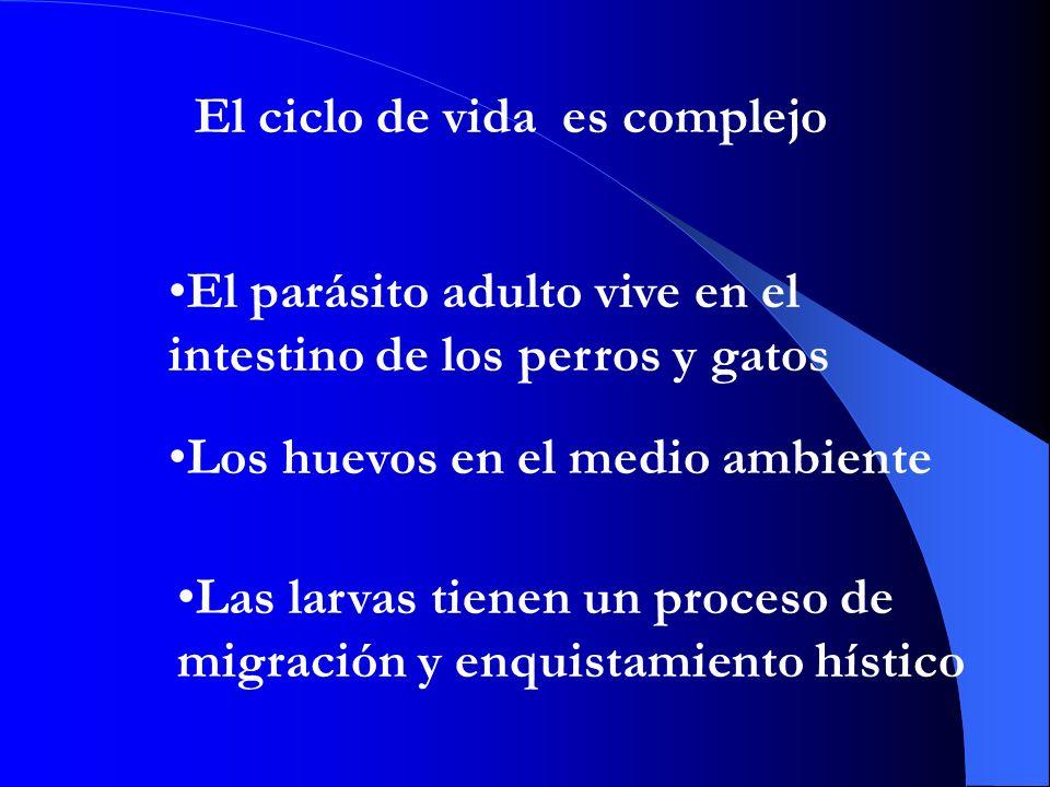 El ciclo de vida es complejo El parásito adulto vive en el intestino de los perros y gatos Los huevos en el medio ambiente Las larvas tienen un proceso de migración y enquistamiento hístico