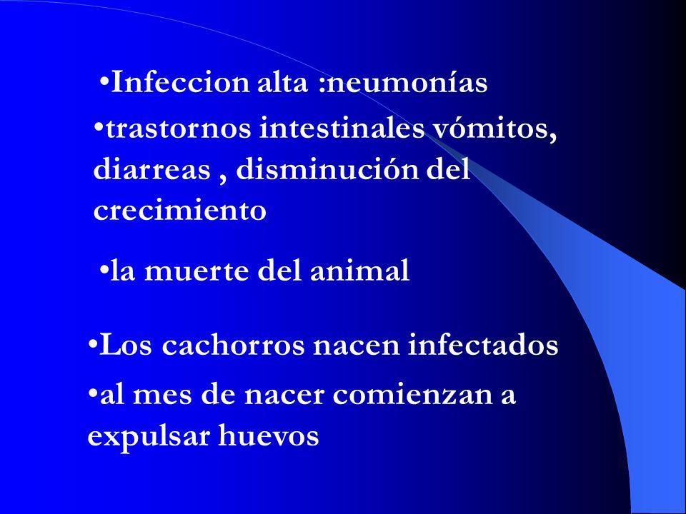 Infeccion alta :neumonías Los cachorros nacen infectados al mes de nacer comienzan a expulsar huevos trastornos intestinales vómitos, diarreas, disminución del crecimiento la muerte del animal