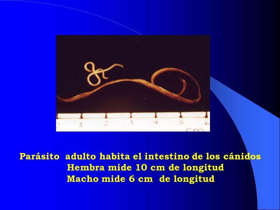Parásito adulto habita el intestino de los cánidos Hembra mide 10 cm de longitud Macho mide 6 cm de longitud