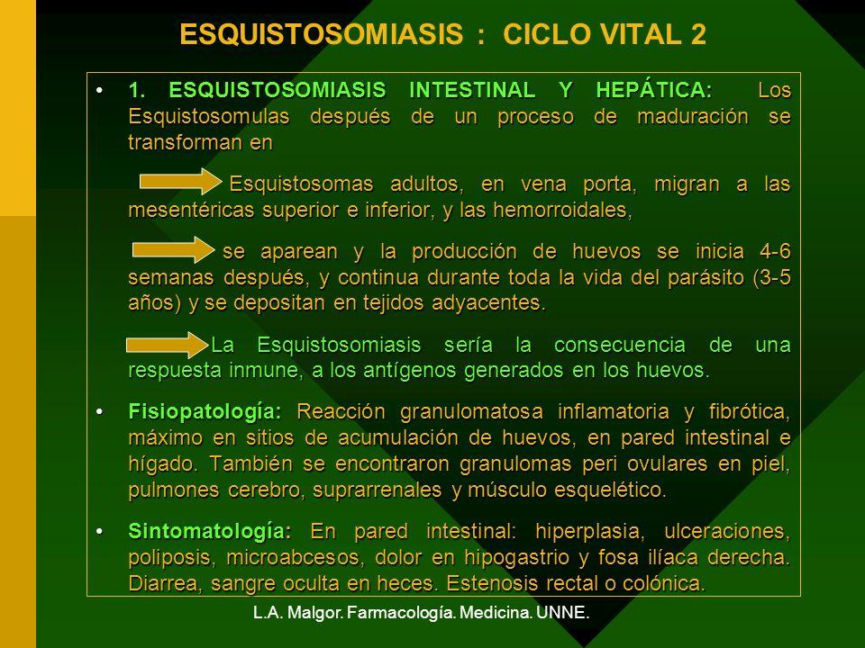 L.A. Malgor. Farmacología. Medicina. UNNE. ESQUISTOSOMIASIS : CICLO VITAL 2 1. ESQUISTOSOMIASIS INTESTINAL Y HEPÁTICA: Los Esquistosomulas después de