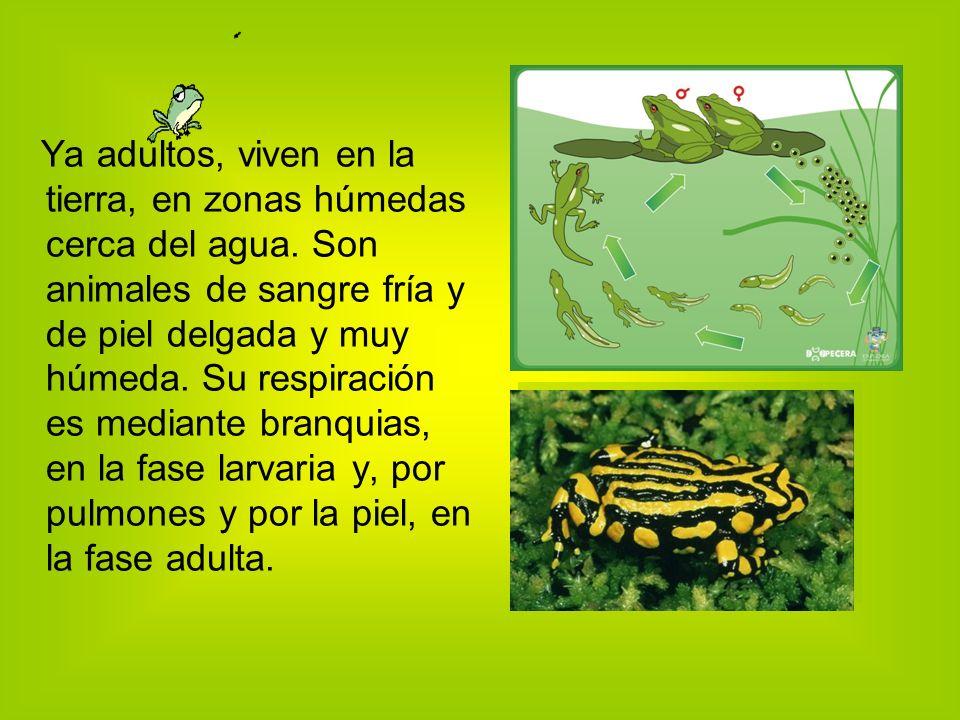 Ya adultos, viven en la tierra, en zonas húmedas cerca del agua.