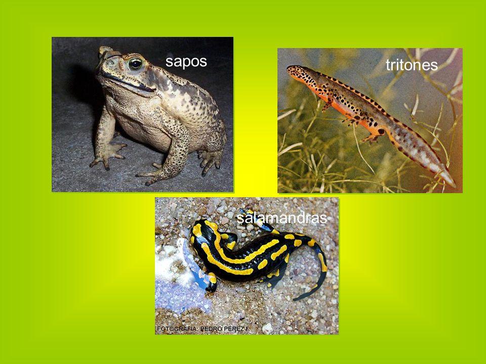sapos salamandras tritones