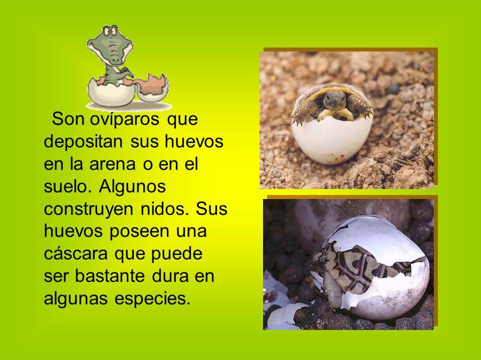 Son ovíparos que depositan sus huevos en la arena o en el suelo.