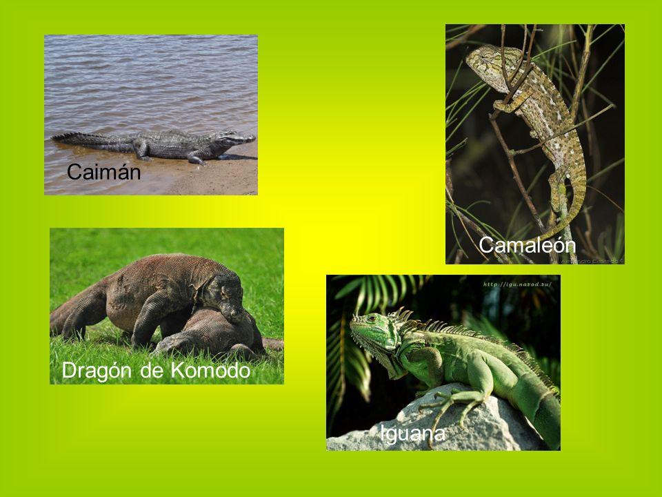 Caimán Camaleón Dragón de Komodo Iguana