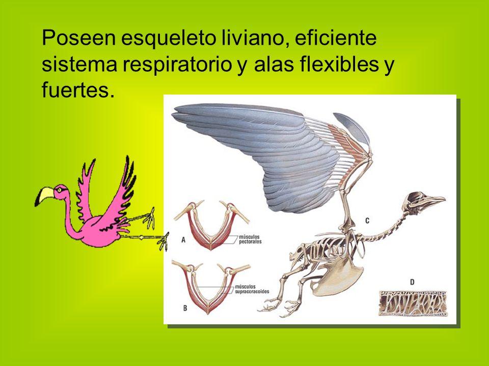 Poseen esqueleto liviano, eficiente sistema respiratorio y alas flexibles y fuertes.