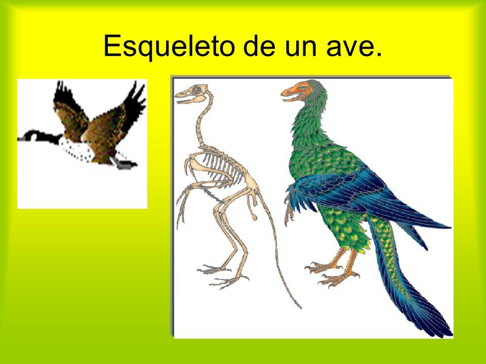 Esqueleto de un ave.