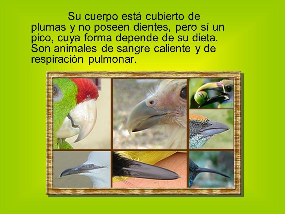 Su cuerpo está cubierto de plumas y no poseen dientes, pero sí un pico, cuya forma depende de su dieta.